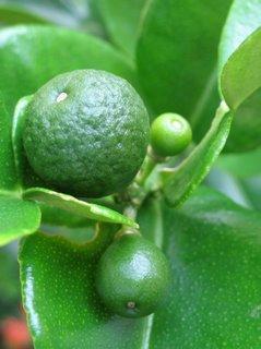 jeruknipis