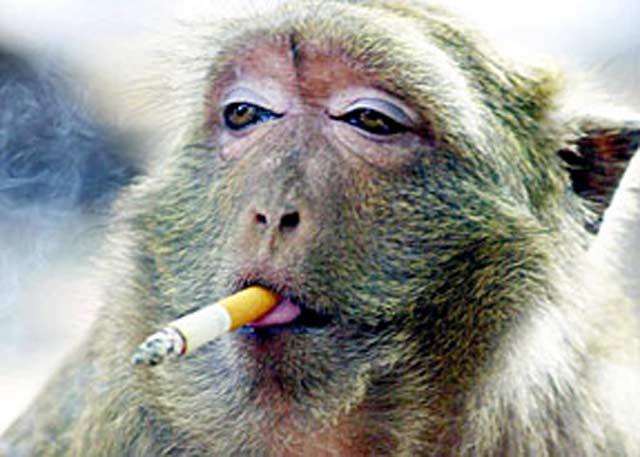 http://jaller.files.wordpress.com/2009/06/monkey-smoking3.jpg