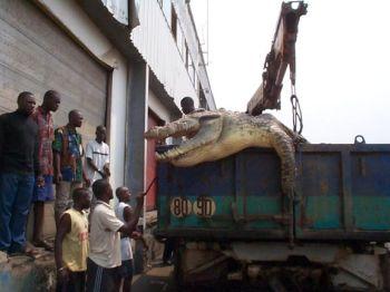 buaya monster di kongo