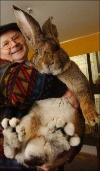 herman sang kelinci raksasa