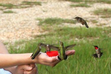 memberi makan burung calibri